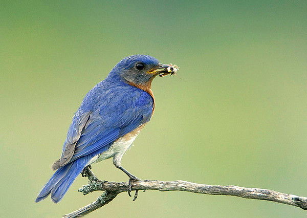 Eastern Bluebird Feeding