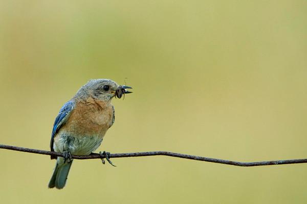 Eastern Bluebird 15<br /> Carden Alvar, Kirkfield, Ontario