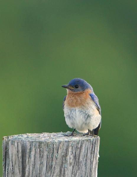 Eastern Bluebird 3<br /> Carden Alvar, Kirkfield, Ontario