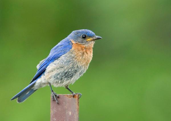 Eastern Bluebird 8<br /> Carden Alvar, Kirkfield, Ontario