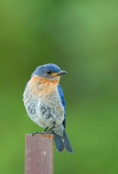 Eastern Bluebird 6<br /> Carden Alvar, Kirkfield, Ontario
