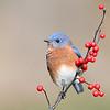 Bluebird; 460mm 1/800 f/5.6 ISO 1250