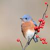 Bluebird; 460mm 1/800 f/5.6 ISO 1250