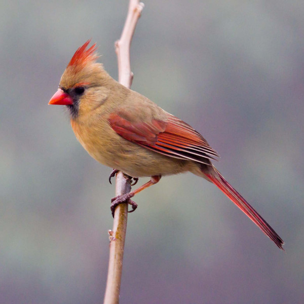Cardinal in the  Mist