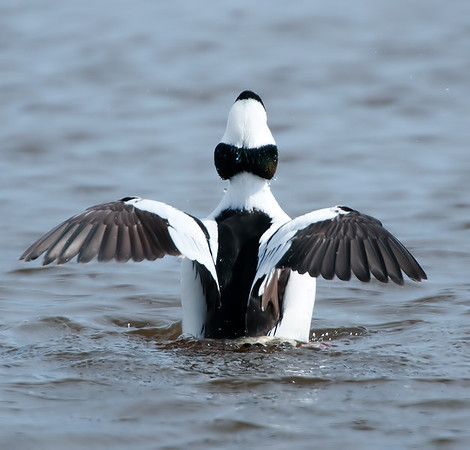 Bufflehead wing-flap, Ottawa National Wildlife Refuge