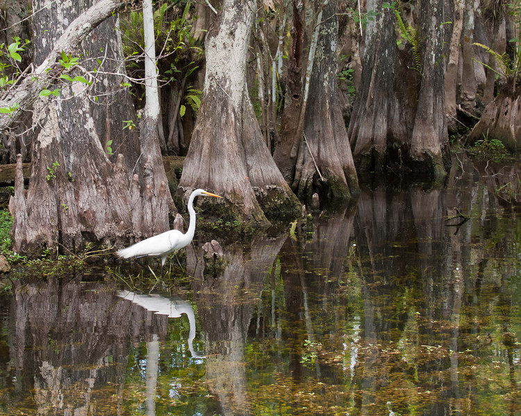 Great Egret in Cypres Swamp