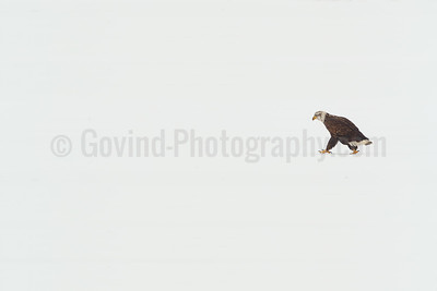 Bald Eagle on a Frozen Lake