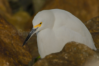 Pensive Snowy Egret