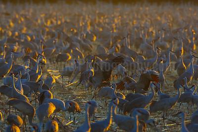 Social Sandhill Cranes