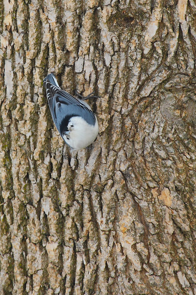 Curious Nuthatch