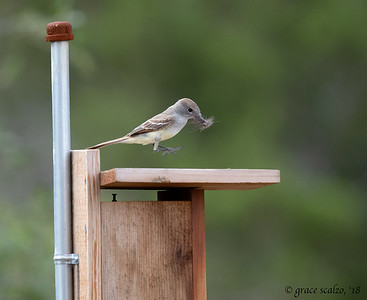 Ash-throated Flycatcher, Nest building