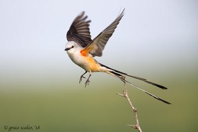 Scissor-tailed flycatcher Take off