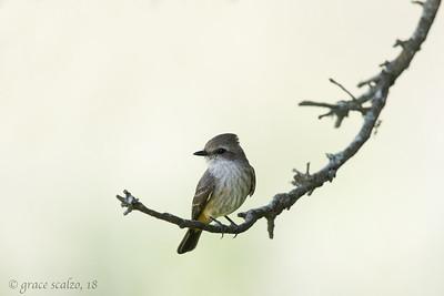 Vermillion Flycatcher (Female)