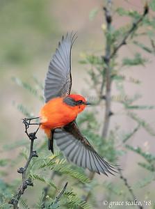 Vermillion Flycatcher (Male)