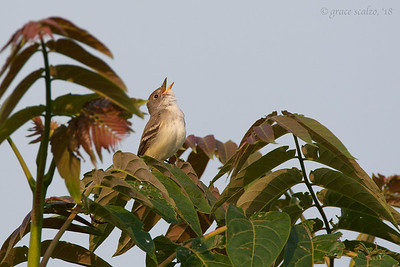 Willow Flycatcher Singing
