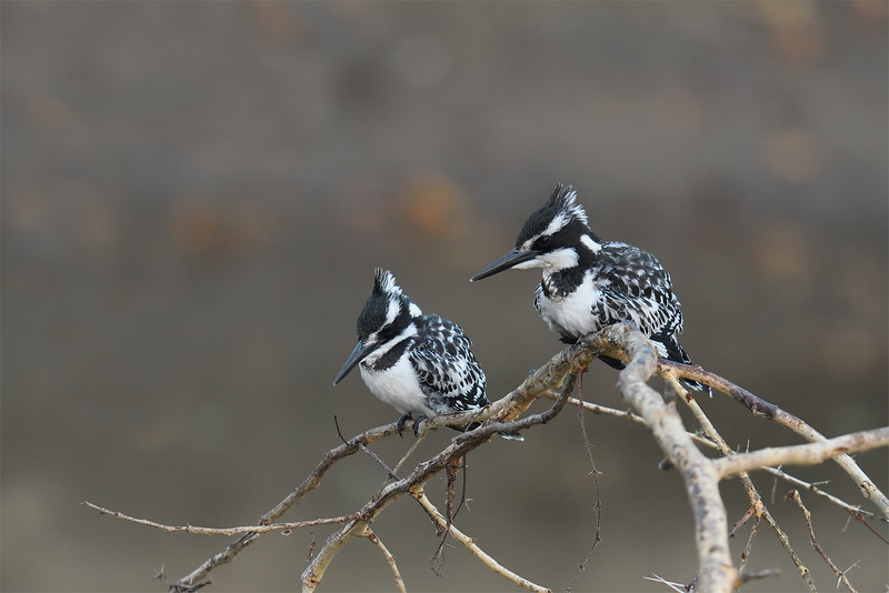 Pied Kingfisher pair; 700mm 1/160 f/5.6 ISO 2,000