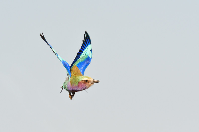 Liliac-breasted Roller; 700mm 1/2000 f/8 ISO 900