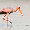 Yellow-billed Stork; 700mm 1/1250 f/6.3 ISO 1,600
