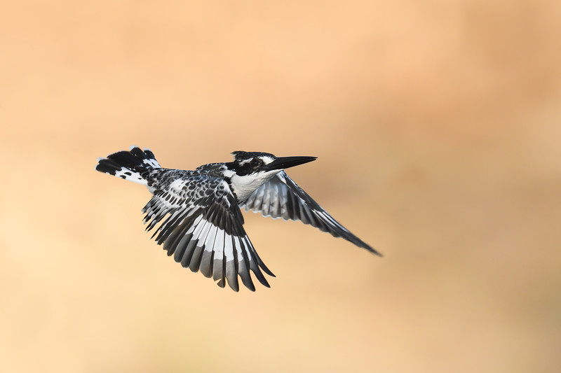 Pied Kingfisher; 700mm 1/1600 f/6.3 ISO 2,000