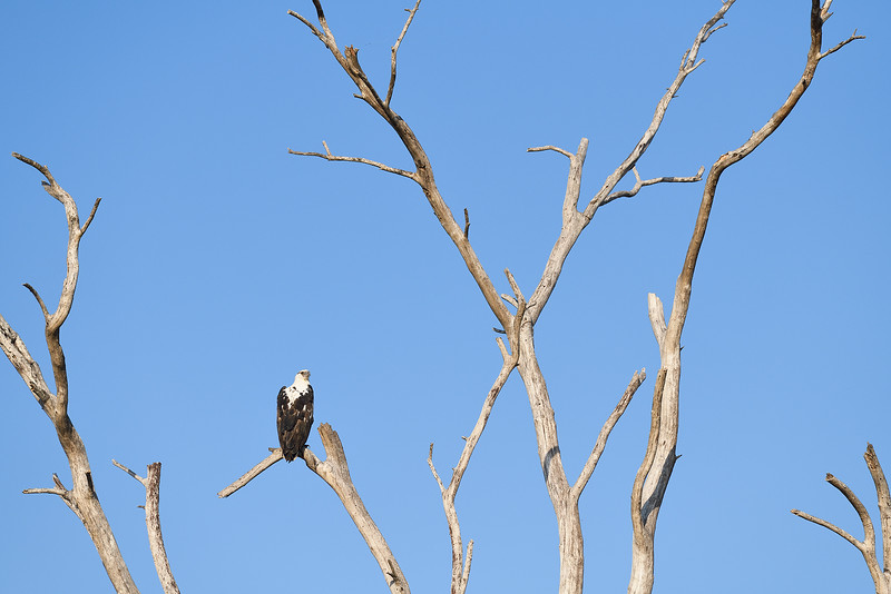 African Fish Eagle; 200mm 1/1600 f/6.3 ISO 450