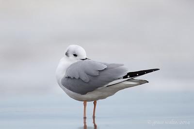 Bonaparte's Gull resting
