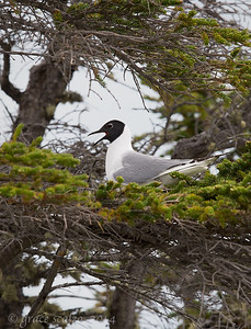 Bonaparte's gull (The only gull that nests in trees)