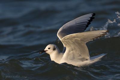 Bonaparte's Gull with morsel