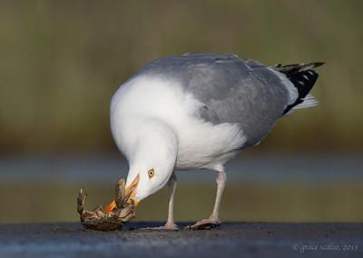 Herring Gull with Crab
