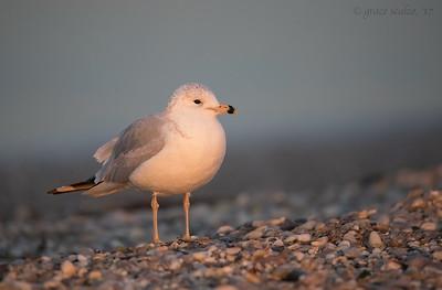 Ring-billed gull in sweet last light