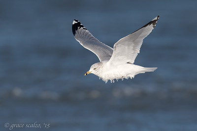 Ring-billed gull with ice necklace