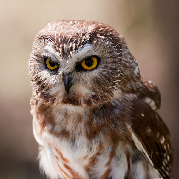 "Northern Sawhet Owl<br /> Photographed at ""A Place Called Hope"", raptor rehabilitation facility in Killingworth, CT. edit"