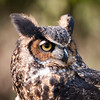 "Great Horned Owl<br /> Photographed at ""A Place Called Hope"", raptor rehabilitation facility in Killingworth, CT."