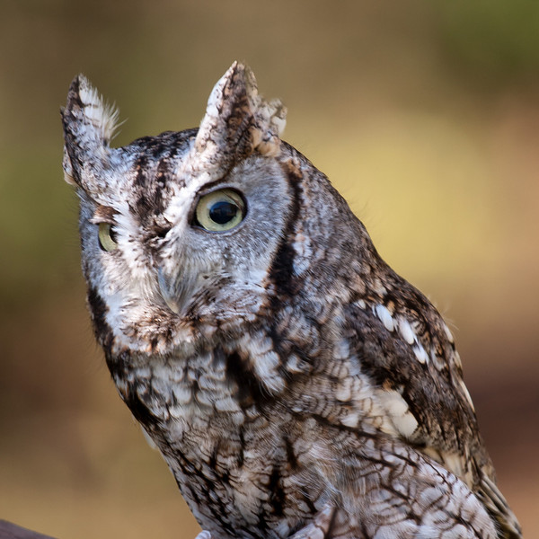 """Eastern Screech Owl<br /> Photographed at """"A Place Called Hope"""", raptor rehabilitation facility in Killingworth, CT"""