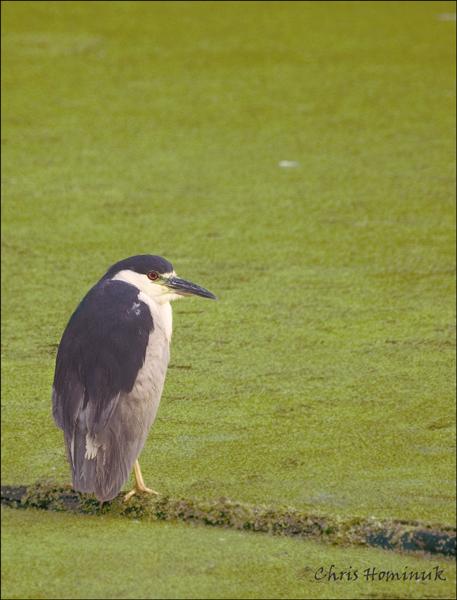 Black Crowned Night Heron<br /> Holland Marsh, Ontario