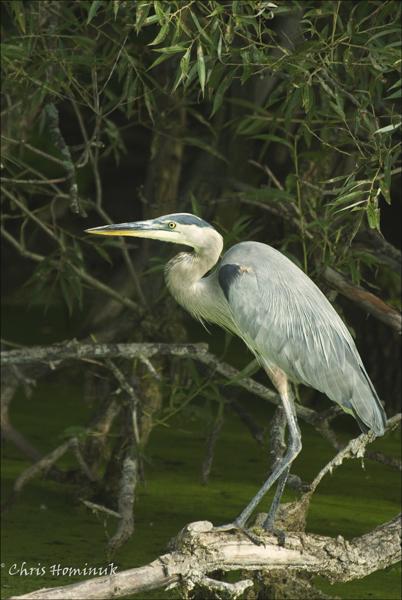 Great Blue Heron<br /> Holland Marsh, Ontario