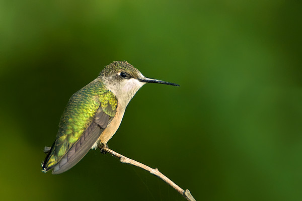 Ruby Throated Hummingbird<br /> Prequile Provincial Park, Ontario