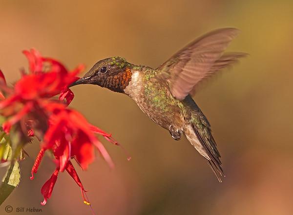 Ruby-throated Hummingbird, Wood County