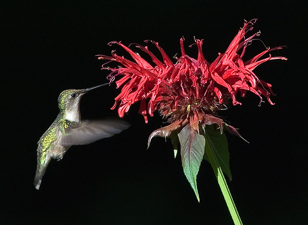 Ruby-Throated Hummingbird and Bee Balm, Wood County