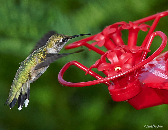 Hummer coming in for a treat