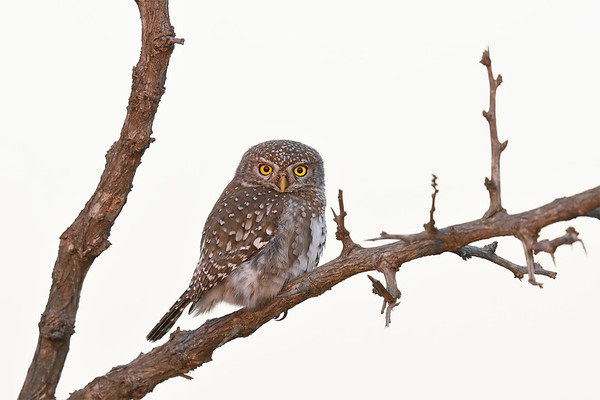 A natural history note: Pearl-spotted owlet