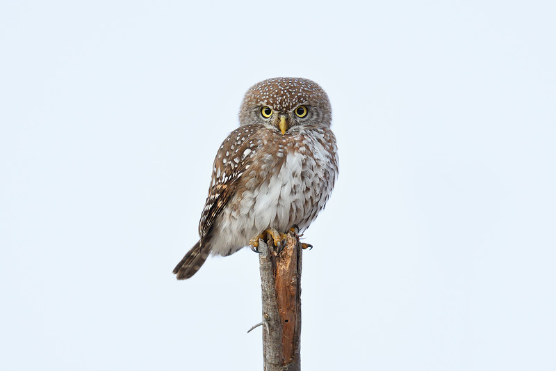 Pearl-spotted Owlet; 500mm 1/40 f/4 ISO 2,000