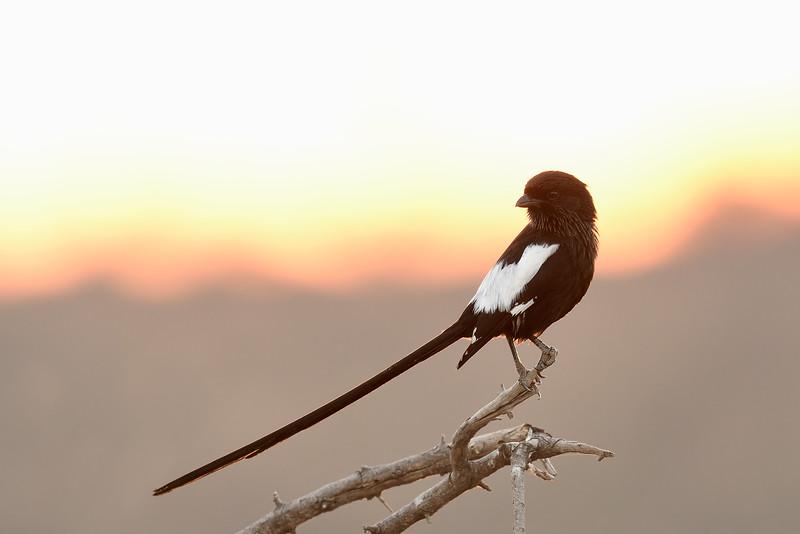 Magpie Shrike; 700mm 1/250 f/5.6 ISO 1,600
