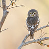 African Barred Owlet; 700mm 1/500 f/5.6 ISO 2,800