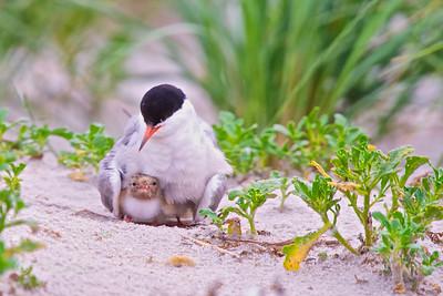 Long Island, New York, Shore Birds
