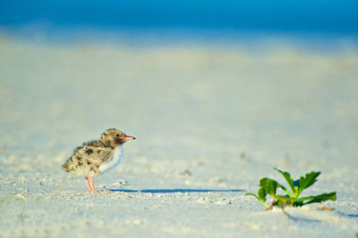 Common Tern Chick   (about 48 hours old)