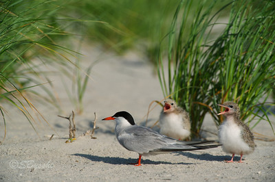 Common Tern and chicks
