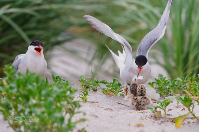 Common Tern Parenting