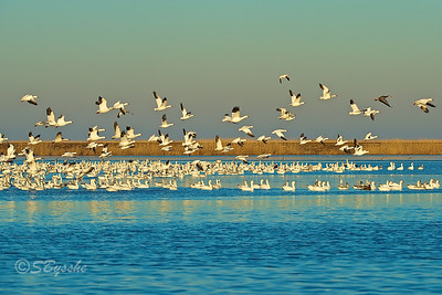 Snow Geese, Bombay Hook, Delaware