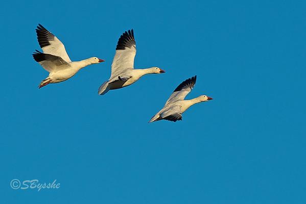 Snow Geese, Bombay Hook, Delaware