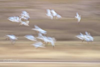 New Mexico WS Bosqeu Snow Geese